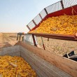 Corn harvesting — Stock Photo #4069533