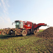 Stock Photo: Sugar beet
