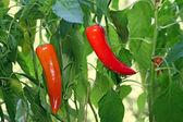 """Bull horns"""" pepper — Stock Photo"""