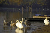 Swans and boats — Stock Photo
