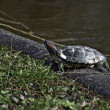 Europian river turtle - Stock Photo