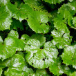 Stock Photo: Butterbur