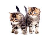 Raza pura de gato dos rayas a británicos aislado — Foto de Stock