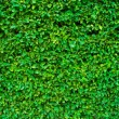 Hedgerow green background - Stock Photo