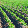 Earthed up potatoes field — Stock Photo