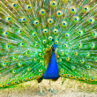 Peacock — Stock Photo #5313943