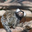Tamarin - Stock Photo