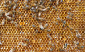 čerstvý med hřeben a včely — Stock fotografie