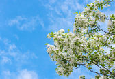 Apple tree blossoming — Stock Photo