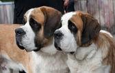 Couple of purebred st bernard dogs — Stock Photo