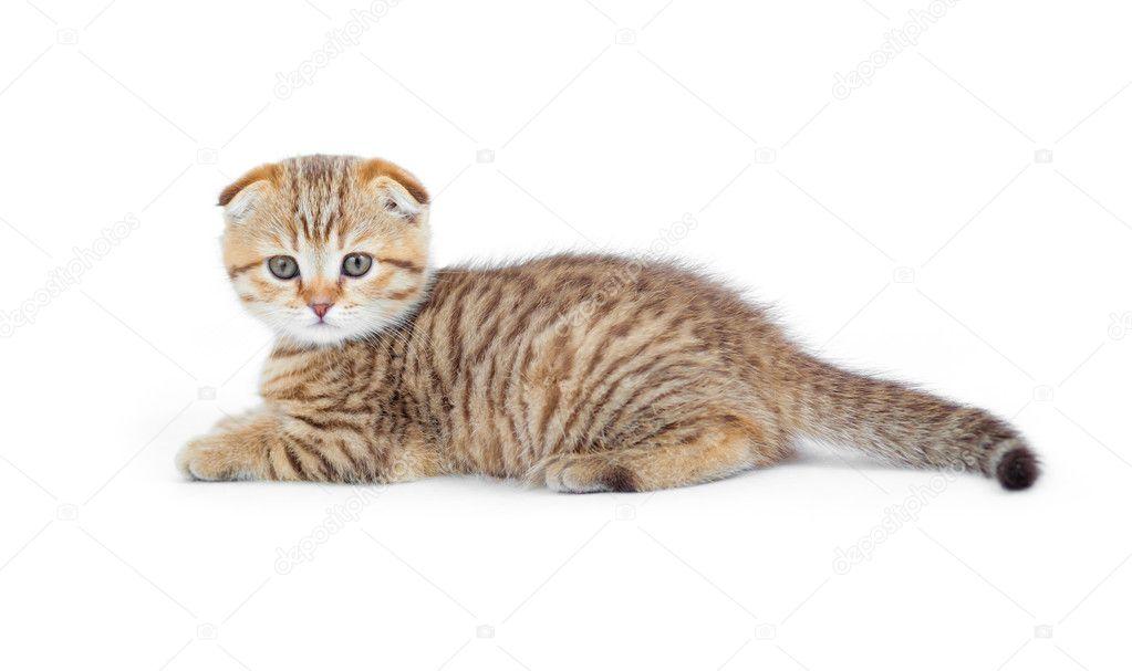 Buy bengal kitten scotland