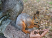 Cute small red squirrel eat nuts from hand — Stock Photo