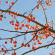 Wild apples on blue autumn sky — Stock Photo
