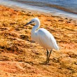 cute little white heron on the sand beach , Egypt, Africa — Stock Photo