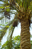 Krone date palm against the blue sky, dates, Egypt, Africa — Stock Photo