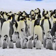 Emperor Penguin — Stock Photo #4194259