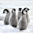 Emperor Penguin — Stock Photo #4194327