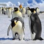 Постер, плакат: Emperor Penguin