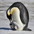 Emperor Penguin — Stock Photo #4197943