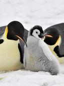 Emperor Penguin — Stock Photo