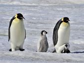 Emperor Penguin — Stock Photo
