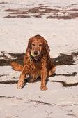 Golden-retriever sulla spiaggia — Foto Stock