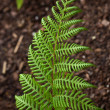 Stock Photo: Bright Green Fern