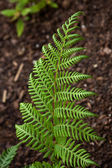 Bright Green Fern — Stock Photo