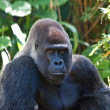 Silverback Gorilla — Stock Photo #4910106
