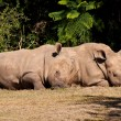 White Rhinos — Stock Photo