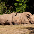 Stock Photo: White Rhinos