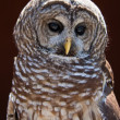 Portrait Of An Owl — Stock Photo