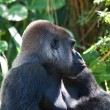 Silverback Gorilla — Stock Photo #5348639
