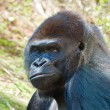 Silverback GorillPortrait — Stock Photo #5348647