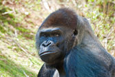 Silverback Gorilla Portrait — Stock Photo