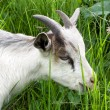 Royalty-Free Stock Photo: Goat in the green grass