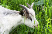 Goat in the green grass — Stock Photo