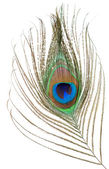 Peacock feather isolated — Stock Photo