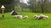 Troupeau de moutons — Photo