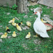 Duck family — Stock Photo #4219511