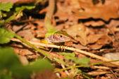 Curious Lizard — Stock Photo