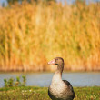 Greylag - Stock Photo