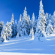 Snowy coniferous trees — Stock Photo