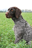 Wirehaired Pointer — Stock Photo