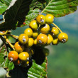 Sorbus aria - Stock Photo