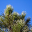 Branch of the pine tree — Stock Photo