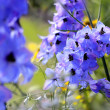 Delphinium - larkspur — Stock Photo