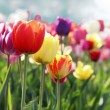 Colorful tulips — Stock Photo #4927526