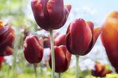 Dark magenta tulips in bloom — Stock Photo