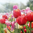 Tulips in spring sun — Stock Photo #5168703